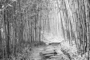 (セピア)新緑の竹林の道 京都の写真素材 [FYI03148444]