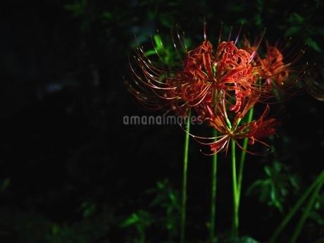夜の彼岸花の写真素材 [FYI03148466]