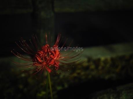 夜の彼岸花の写真素材 [FYI03148467]