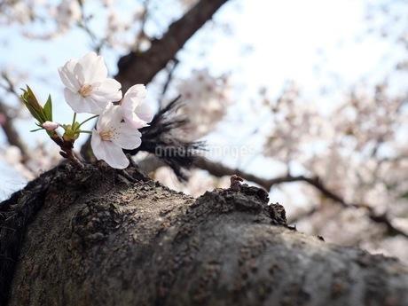 胴吹きの桜の花の写真素材 [FYI03148480]