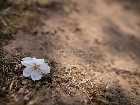 地面に落ちた桜の花の写真素材 [FYI03148481]