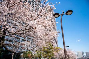 石川島公園満開の桜の写真素材 [FYI03148542]