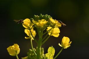 菜の花と蜂の写真素材 [FYI03148616]