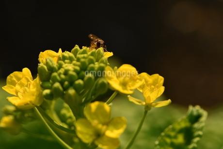 菜の花と蜂の写真素材 [FYI03148617]