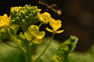 菜の花と蜂の写真素材 [FYI03148618]