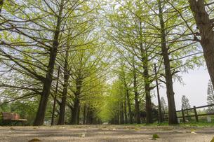 新緑の並木道の写真素材 [FYI03148623]