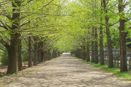 新緑の並木道の写真素材 [FYI03148624]