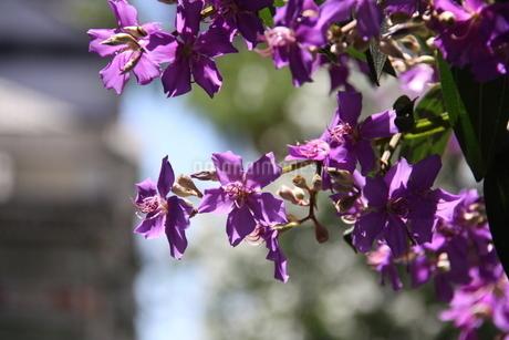 サンパウロに咲くクワレズメイラの写真素材 [FYI03148687]