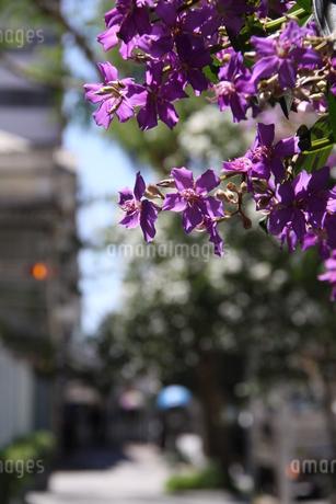 サンパウロに咲くクワレズメイラの写真素材 [FYI03148688]