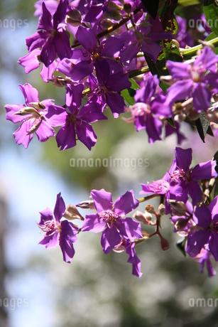 サンパウロに咲くクワレズメイラの写真素材 [FYI03148695]