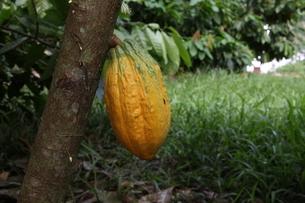 アマゾン地域で栽培されているカカオの写真素材 [FYI03148697]