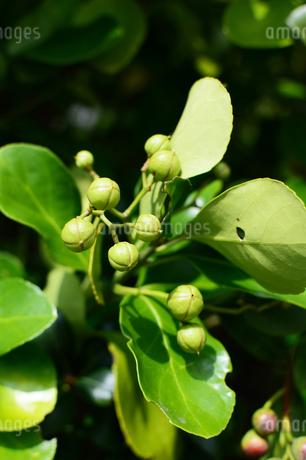 沖縄のフクギの葉と実の写真素材 [FYI03148710]