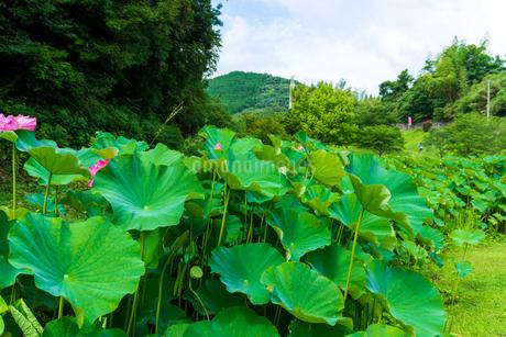 蓮の花  古代の森公園の開花風景  Lotus flower  Flowering scenery of ancient forest parkの写真素材 [FYI03148737]