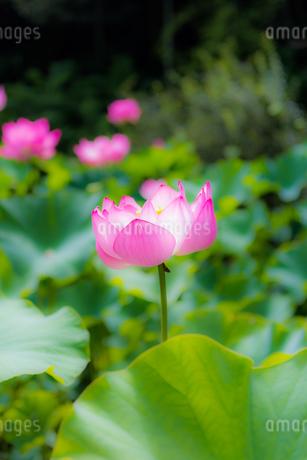 美しい古代蓮 明るい薄いピンク色の蓮花が咲きました Beautiful ancient lotus A bright thin pink lotus flower bloomedの写真素材 [FYI03148744]