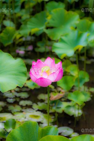 美しい古代蓮 明るい薄いピンク色の蓮花が咲きました Beautiful ancient lotus A bright thin pink lotus flower bloomedの写真素材 [FYI03148748]