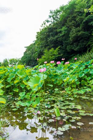 蓮の花  古代の森公園の開花風景  Lotus flower  Flowering scenery of ancient forest parkの写真素材 [FYI03148749]