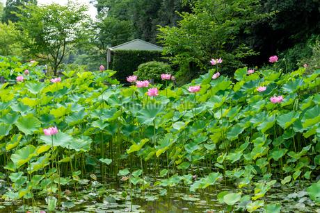 蓮の花  古代の森公園の開花風景  Lotus flower  Flowering scenery of ancient forest parkの写真素材 [FYI03148750]