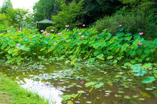 蓮の花  古代の森公園の開花風景  Lotus flower  Flowering scenery of ancient forest parkの写真素材 [FYI03148751]