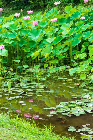 蓮の花  古代の森公園の開花風景  Lotus flower  Flowering scenery of ancient forest parkの写真素材 [FYI03148752]