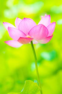 美しい古代蓮の花が咲きました Beautiful ancient lotus flower bloomedの写真素材 [FYI03148768]