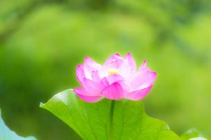 美しい古代ハスの花が咲きました Beautiful ancient lotus flower bloomedの写真素材 [FYI03148774]