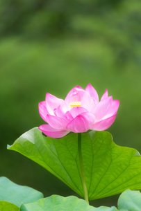 美しい古代ハスの花が咲きました  Beautiful ancient lotus flower bloomedの写真素材 [FYI03148775]