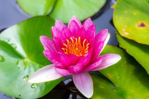 美しい赤いスイレンの花が咲きました  Beautiful red water lily bloomedの写真素材 [FYI03148776]