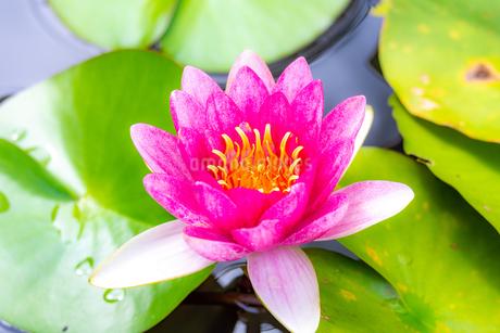 美しい赤いスイレンの花が咲きました  Beautiful red water lily bloomedの写真素材 [FYI03148778]
