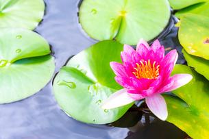 美しい赤いスイレンの花が咲きました  Beautiful red water lily bloomedの写真素材 [FYI03148779]