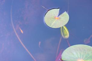 色鮮やかなメダカが睡蓮の葉と一緒に泳いでいます Colorful medaka swimming with water lily leavesの写真素材 [FYI03148780]
