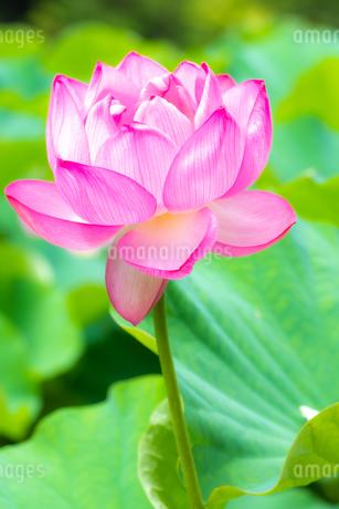 美しい古代蓮 明るい薄いピンク色の蓮花が咲きました Beautiful ancient lotus A bright thin pink lotus flower bloomedの写真素材 [FYI03148783]