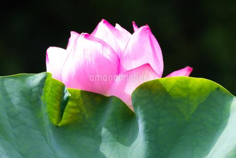 美しい古代蓮の花が咲きました Beautiful ancient lotus flower bloomedの写真素材 [FYI03148784]