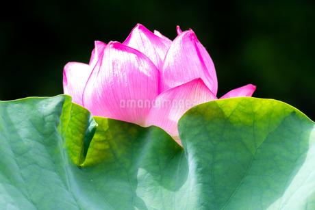 美しい古代蓮の花が咲きました Beautiful ancient lotus flower bloomedの写真素材 [FYI03148785]