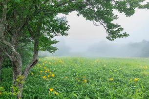 霧の中に咲くキスゲ平園地のニッコウキスゲ 日光市霧降高原 栃木県の写真素材 [FYI03148849]