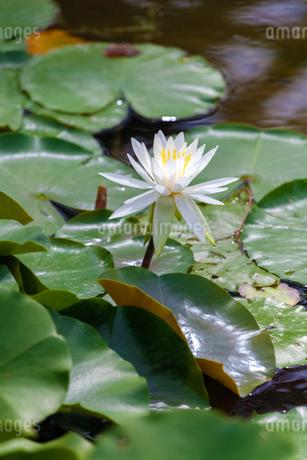 池に咲く白いスイレンの写真素材 [FYI03148893]