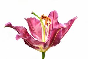 白背景のユリの花の写真素材 [FYI03149058]