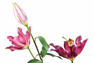 白背景のユリの花の写真素材 [FYI03149061]
