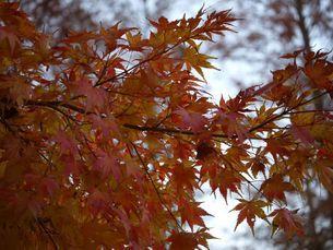 色づく紅葉 の写真素材 [FYI03149209]