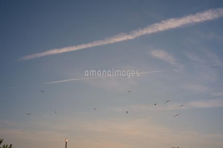 夕空を飛ぶ鳥の群れの写真素材 [FYI03149420]