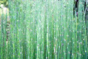 アスパラガスのような植物がきらきらしているの写真素材 [FYI03149422]