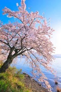 海津大崎の桜と琵琶湖の写真素材 [FYI03149696]