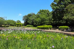 山崎公園 せせらぎ菖蒲園の写真素材 [FYI03149853]