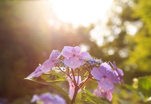 太陽の光に輝くアジサイの写真素材 [FYI03149872]