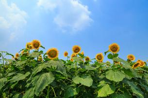 夏イメージ ヒマワリと青空の写真素材 [FYI03149899]