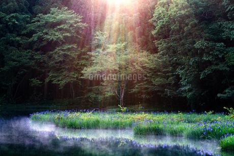 平池(だいらいけ)の杜若  日本 滋賀県 高島市の写真素材 [FYI03150117]
