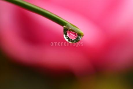 薔薇の花が映り込んだ大きな水滴の写真素材 [FYI03150203]