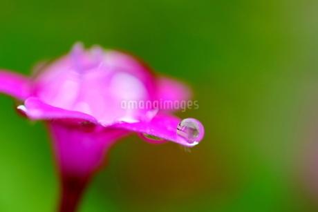 花弁に付いた水滴の写真素材 [FYI03150212]