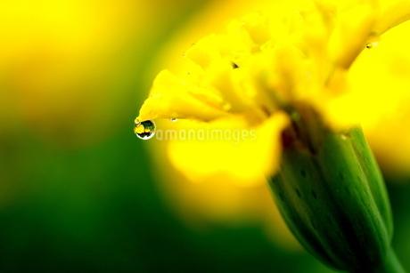 花が映り込んだ小さな雫の写真素材 [FYI03150214]