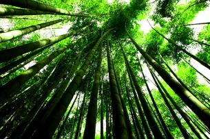 報国寺竹林庭園 日本 神奈川県 鎌倉市の写真素材 [FYI03150236]
