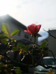 薔薇の写真素材 [FYI03150244]